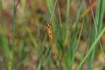 Sort Hedelibel (Sympetrum danae)